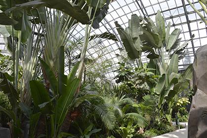 Des essences tropicales ont été plantées dans la serre : flamboyants, arbre du voyageur, papayers.