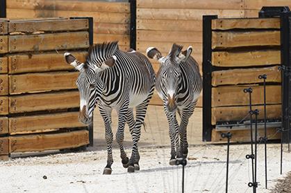 Les zèbres de Grévy partagent leur enclos avec les rhinocéros blancs.