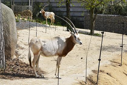 Les oryx algazelle, ces grandes  antilopes  font partie des espèces menacées.