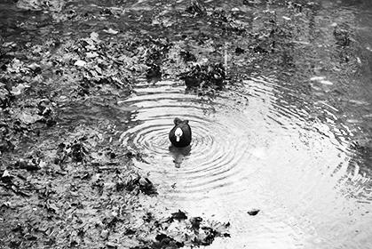 Un canard de Barbarie qui a trouvé sa mare.