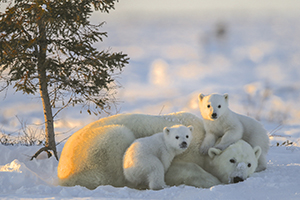 Canada, Manitoba, Churchill, les ours polaires, photo de Michel Rawicki