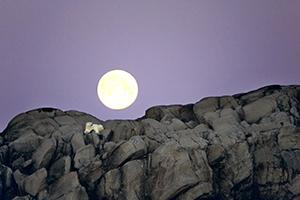 Norvège, Svalbard, Ours polaire et pleine lune, photo Michel Rawicki
